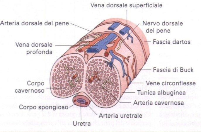 langolo di elevazione del pene durante lerezione)